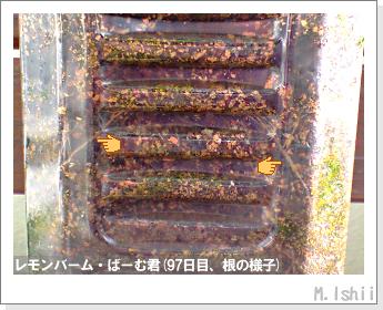 ペット栽培II(レモンバーム)26