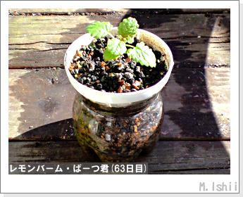 ペット栽培II(レモンバーム)27