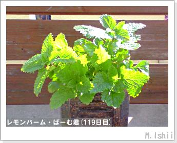 ペット栽培II(レモンバーム)30