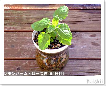 ペット栽培II(レモンバーム)31