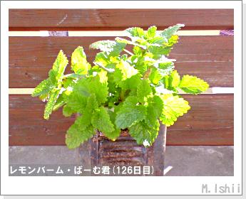 ペット栽培II(レモンバーム)32