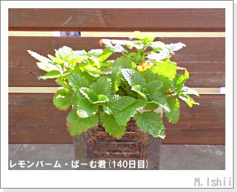 ペット栽培II(レモンバーム)34