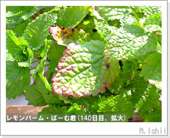 ペット栽培II(レモンバーム)35