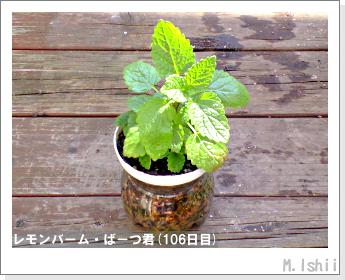 ペット栽培II(レモンバーム)36