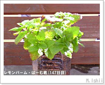 ペット栽培II(レモンバーム)37