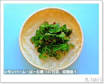 ペット栽培II(レモンバーム)39