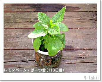 ペット栽培II(レモンバーム)40