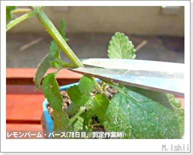 ハーブのペット栽培(レモンバーム)20