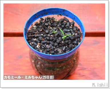 ハーブのペット栽培(カモミール)08