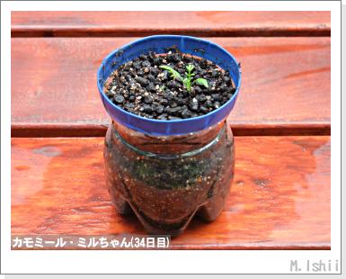 ハーブのペット栽培(カモミール)09