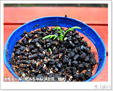 ハーブのペット栽培(カモミール)10