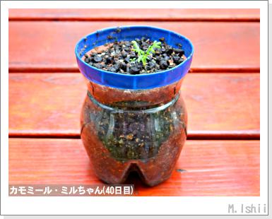 ハーブのペット栽培(カモミール)12