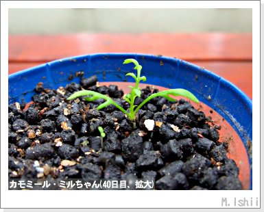 ハーブのペット栽培(カモミール)13