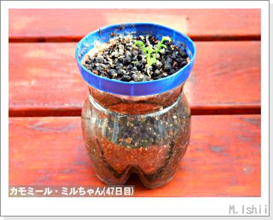 ハーブのペット栽培(カモミール)14