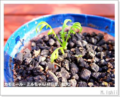 ハーブのペット栽培(カモミール)15