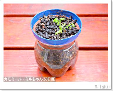 ハーブのペット栽培(カモミール)16