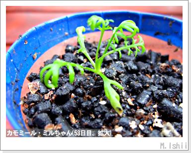 ハーブのペット栽培(カモミール)17