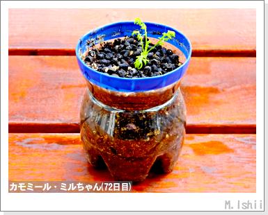 ハーブのペット栽培(カモミール)18