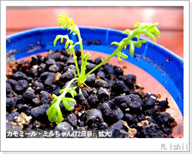 ハーブのペット栽培(カモミール)19