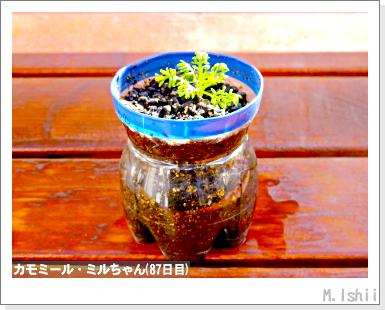 ハーブのペット栽培(カモミール)20