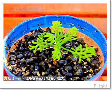 ハーブのペット栽培(カモミール)21