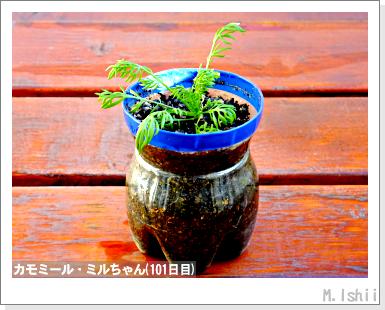 ハーブのペット栽培(カモミール)22