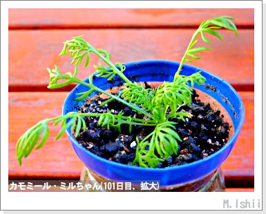 ハーブのペット栽培(カモミール)23