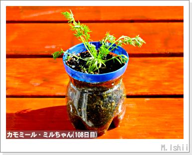 ハーブのペット栽培(カモミール)24