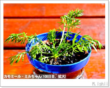 ハーブのペット栽培(カモミール)25