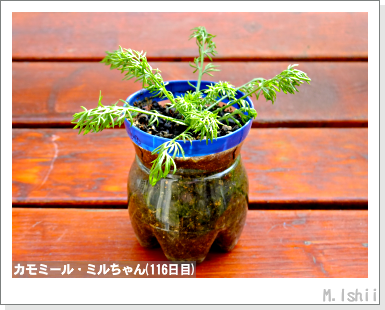 ハーブのペット栽培(カモミール)26