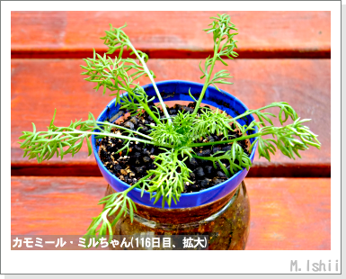 ハーブのペット栽培(カモミール)27