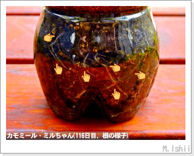ハーブのペット栽培(カモミール)28