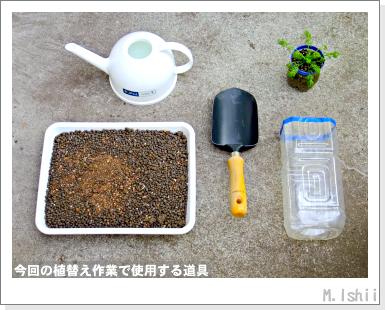 ハーブのペット栽培(カモミール)29