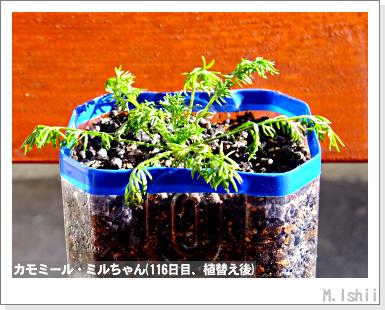 ハーブのペット栽培(カモミール)30