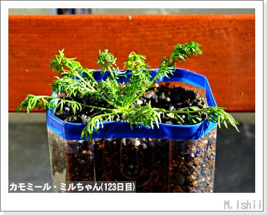 ハーブのペット栽培(カモミール)31