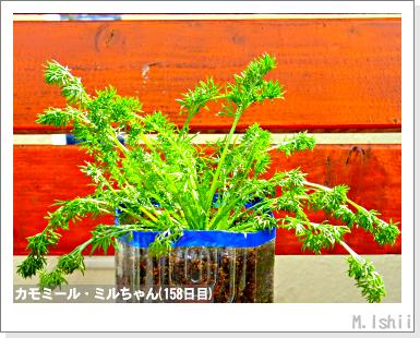 ハーブのペット栽培(カモミール)37