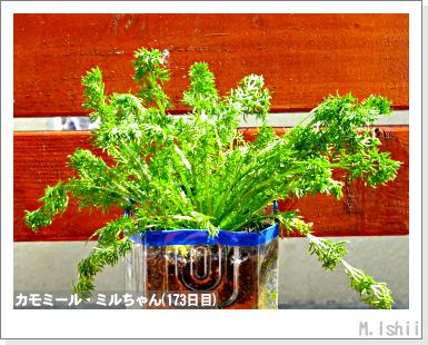 ハーブのペット栽培(カモミール)40
