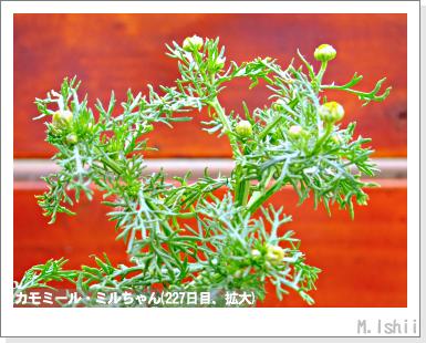 ハーブのペット栽培(カモミール)44