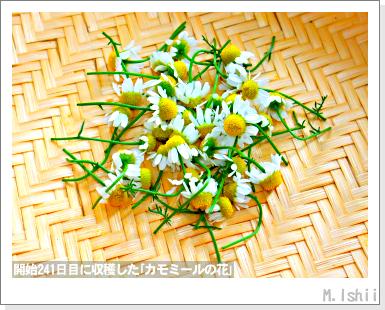 ハーブのペット栽培(カモミール)51