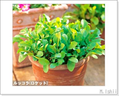 ハーブのペット栽培(ルッコラ)03