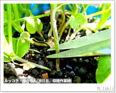 ハーブのペット栽培(ルッコラ)13
