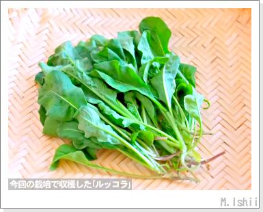 ハーブのペット栽培(ルッコラ)14