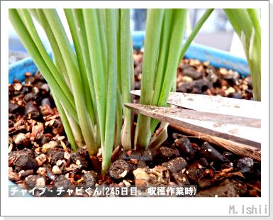 ハーブのペット栽培(チャイブ)27