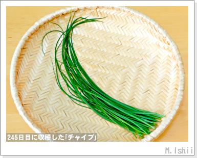 ハーブのペット栽培(チャイブ)28