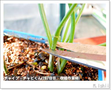 ハーブのペット栽培(チャイブ)36