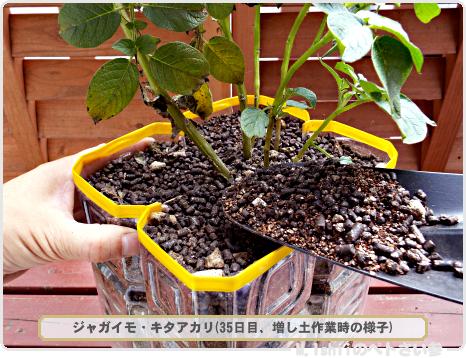 ジャガイモの試験栽培23