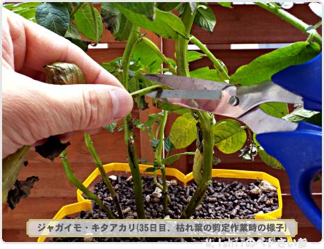 ジャガイモの試験栽培24