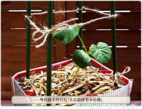 ミニかぼちゃの植え付け02