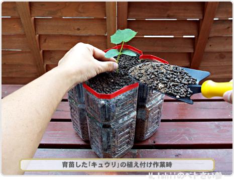 キュウリの植え付け01