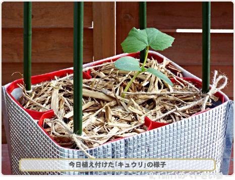 キュウリの植え付け02